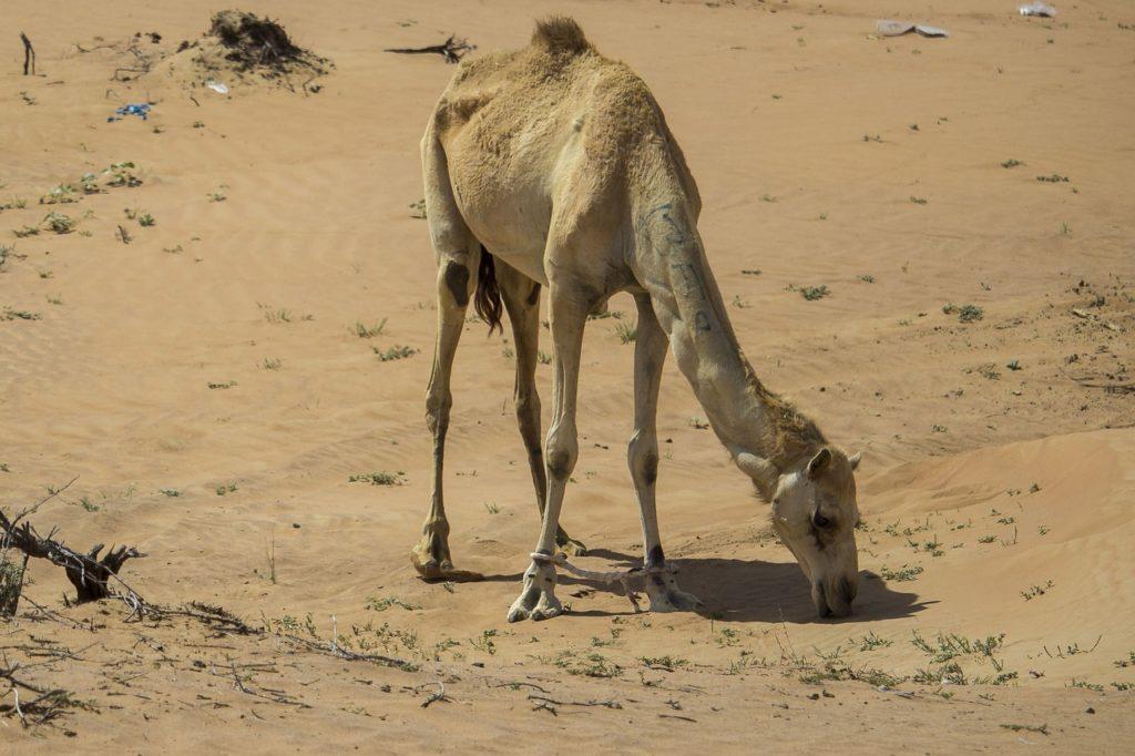 В создании верблюдов — чудесные знамения, доказывающие могущество Аллаха
